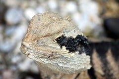 Le dragon d'eau de Pâques (lesueuril de Physignathus) se ferment  Photos stock