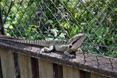 Le dragon d'eau oriental de lézard australien photos stock