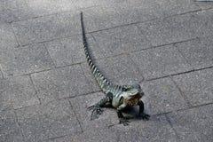 Le dragon d'eau oriental de lézard australien photographie stock libre de droits