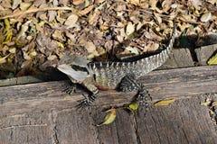 Le dragon d'eau oriental de lézard australien photo libre de droits