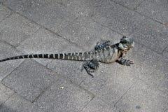 Le dragon d'eau oriental de lézard australien images stock
