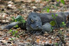 Le dragon de Comodo photographie stock libre de droits