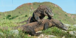 Le dragon de Comodo et le x28 de combat ; Komodoensis& x29 de Varanus ; pour la domination photos libres de droits