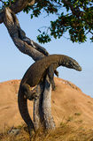 Le dragon de Komodo a grimpé à un arbre Photo très rare l'indonésie Parc national de Komodo Photographie stock