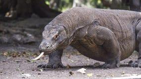 Le dragon de Komodo marche avec la langue  Photographie stock libre de droits