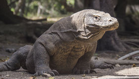Le dragon de Komodo repose patiemment l'attente Image stock