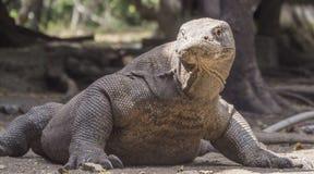Le dragon de Komodo se repose avec ses bras tendus Photos stock