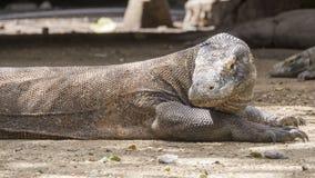 Le dragon de Komodo se repose avec ses bras tendus Image libre de droits
