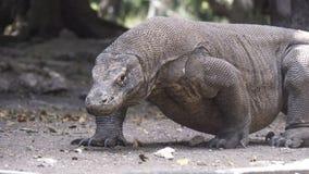 Le dragon de Komodo se tient sur tous les fours Image stock