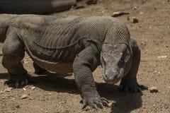 Le dragon prépare pour attaquer, île de Rinca, Indonésie Photographie stock