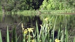 Le drapeau jaune de pseudacorus d'iris, iris jaune, drapeau de l'eau, levier est des espèces dans le genre iris, de l'Iridaceae d banque de vidéos