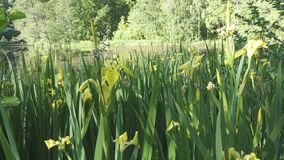 Le drapeau jaune de pseudacorus d'iris, iris jaune, drapeau de l'eau, levier est des espèces dans le genre iris, de l'Iridaceae d clips vidéos