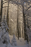 Le Drumont,多雪和晴朗的森林,孚日省,法国 免版税库存照片