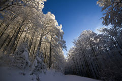 Le Drumont, snöig och solig skog, Vosges, Frankrike Royaltyfri Bild