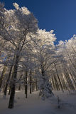 Le Drumont, snowy and sunny forest, Vosges, France Stock Image