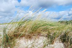 Le dune erba nel vento Fotografia Stock