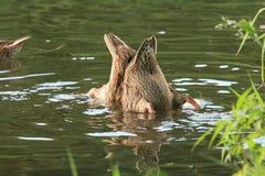 Le duo de canard plonge dans les eaux d'un beau lac d'été Image libre de droits