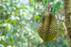 Le durian sur l'arbre Image libre de droits