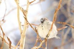 Le duvet de moineau un ` s fait varier le pas de se reposer sur une branche d'un peuplier Photo stock