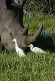 Le egrette beccano intorno ad un corno di rinoceronti in Africa Fotografia Stock