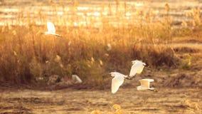 Le egrette volano al crepuscolo immagine stock libera da diritti