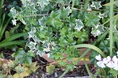 Le Elegant Ivy Leaved Geranium, Pelargonium peltatum `La Elegant`, royalty free stock image