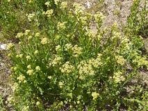 Le erbacce di fioritura bianca si chiudono sulla sporcizia a immagini stock libere da diritti
