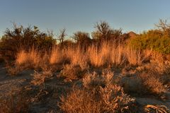 Le erbe asciutte alte nel deserto del Mojave dorato di mattina abbelliscono Fotografia Stock Libera da Diritti