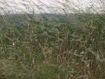 Le erbe di prateria alte si sviluppano in un parcheggio Fotografie Stock