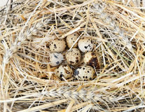 Le erbe e le piante nel ` s della quaglia egg, nido del ` s dell'uccello e le uova, immagini delle uova nel ` s della quaglia ann Fotografia Stock Libera da Diritti