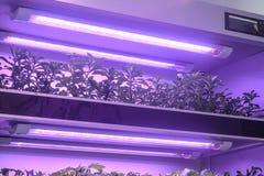 Le erbe si sviluppano con la luce principale della crescita di pianta in serra immagini stock