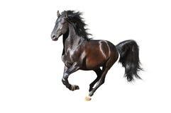 Le esecuzioni nere del cavallo galoppano sui precedenti bianchi Fotografie Stock