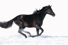Le esecuzioni nere del cavallo galoppano sui precedenti bianchi Immagine Stock