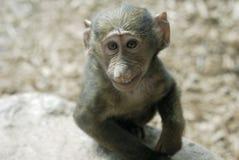 le för baboonolivgrön Royaltyfri Fotografi