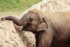 le för elefant Royaltyfria Bilder