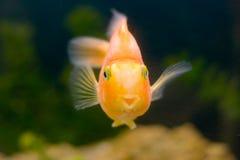 le för fiskguld som är tropiskt Arkivbilder
