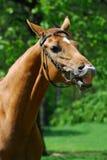 le för häst Royaltyfria Bilder