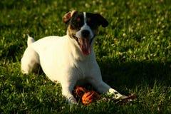le för hund Arkivbild