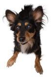 le för hund Royaltyfri Foto