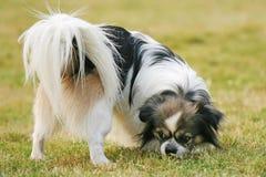 le för hundpapillon royaltyfri foto