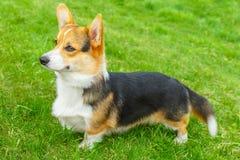 Le för hundPembroke Welsh corgi Arkivfoton