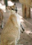 le för känguru Royaltyfri Foto