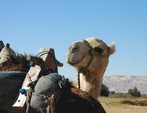 le för kamel Arkivfoto