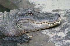 le för krokodil royaltyfria foton