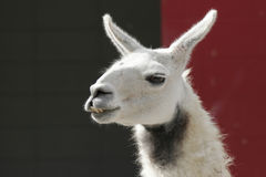 le för llama Royaltyfri Foto