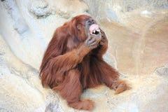 Le för orangutang Arkivfoto