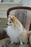 Le för Pomeranian spitz Royaltyfri Fotografi