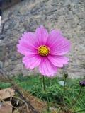 Le för rosa färgblomning royaltyfria foton