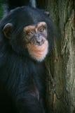 le för schimpans Royaltyfri Fotografi