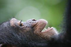 le för schimpansstående Arkivbild
